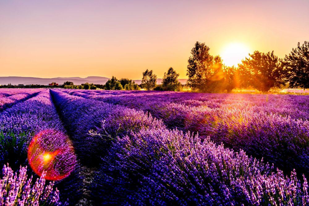 صور سفر، أجمل حقول الزهور في العالم، بروفنس، فرنسا حقول اللافندر