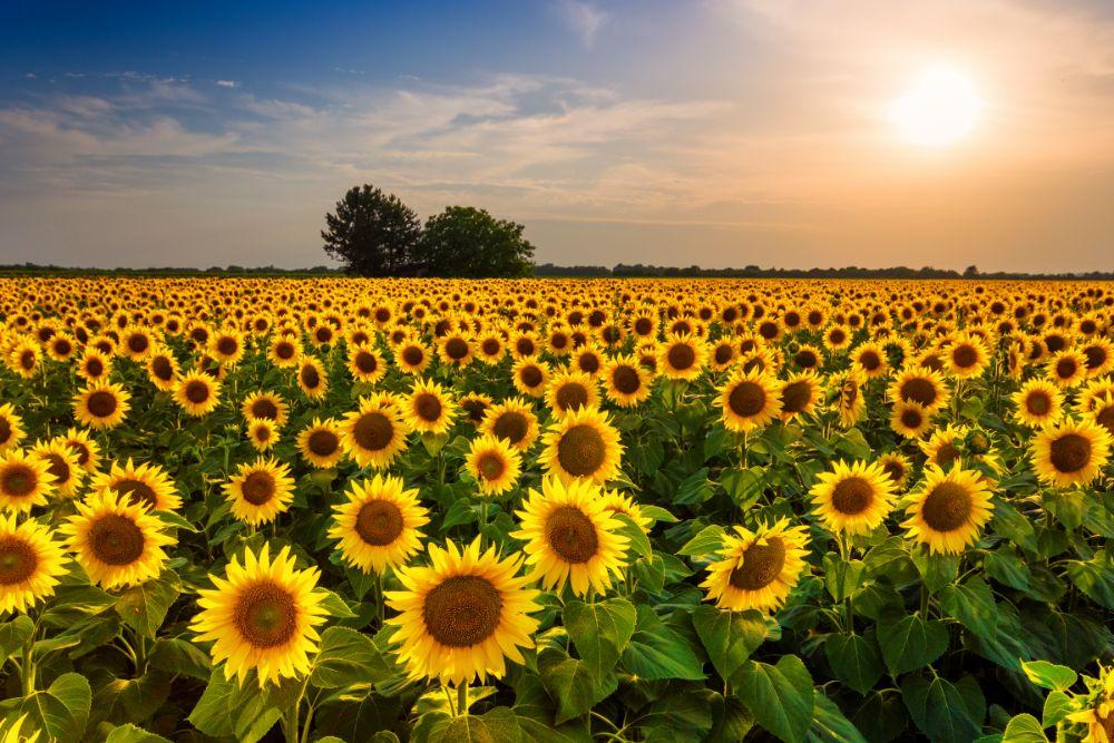 صور سفر، أجمل حقول الزهور في العالم، توسكانا، إيطاليا حقول عباد الشمس