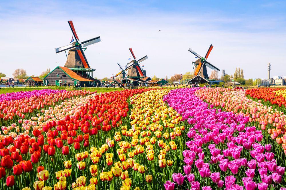 صور سفر، أجمل حقول الزهور في العالم، حقول الزهور في هولندا