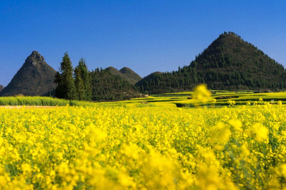 صور سفر، أجمل حقول الزهور في العالم، حقول زهرة الكانولا، لوبينج، الصين