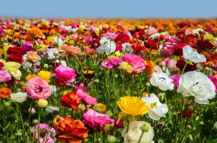 صور سفر، أجمل حقول الزهور في العالم، حقول زهرة كارلسباد، كاليفورنيا، أمريكا