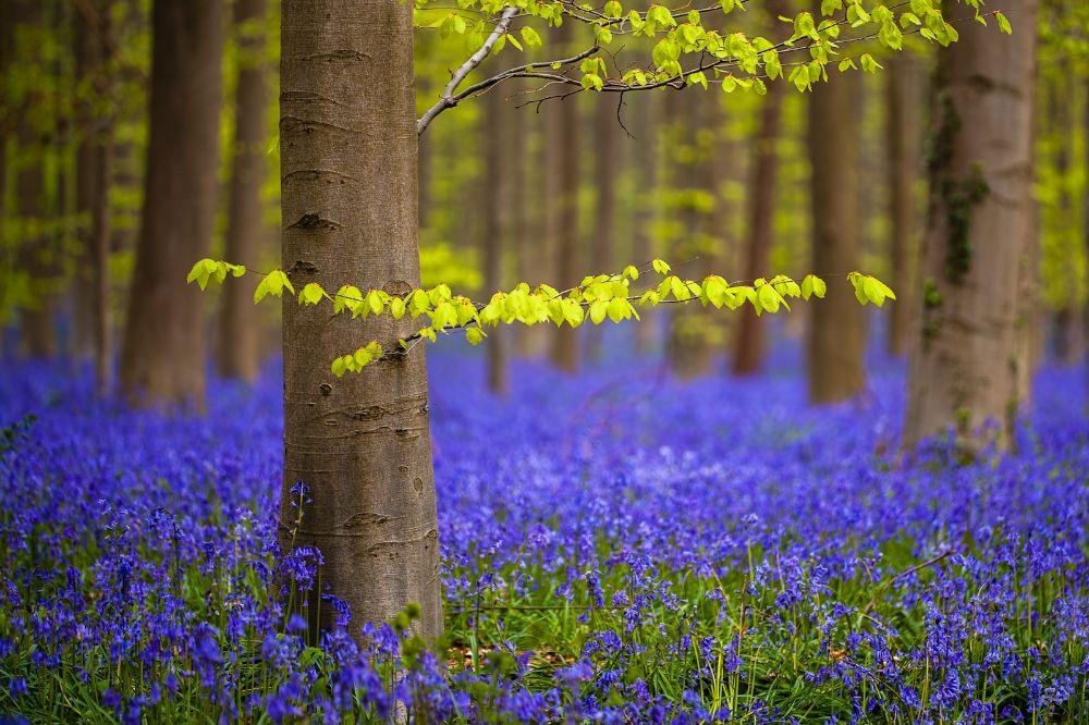 صور سفر، أجمل حقول الزهور في العالم، غابة هالربوس، بلجيكا