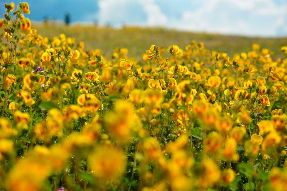 صور سفر، أجمل حقول الزهور في العالم، كاس بلاتو، الهند