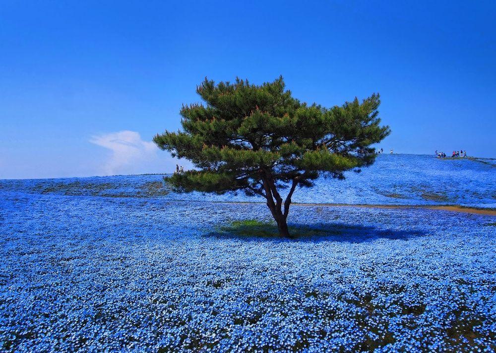 صور سفر، أجمل حقول الزهور في العالم، هيتاشي سي سايد بارك، اليابان